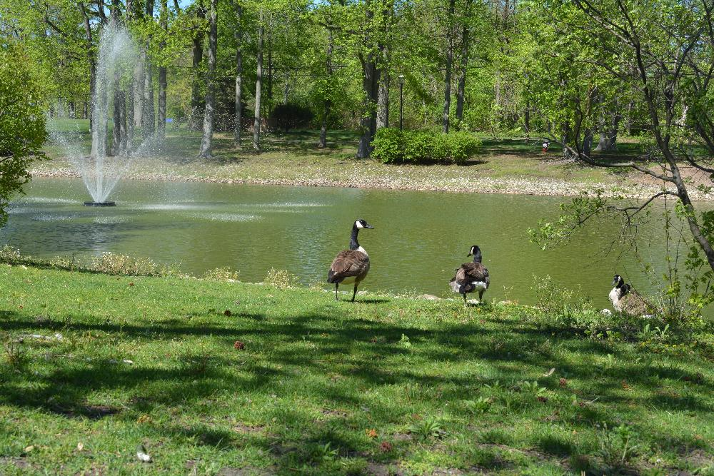 Canadian Geese Visit the East Brunswick Municipal Pond